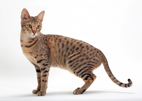 What A Savannah Cat Looks Like